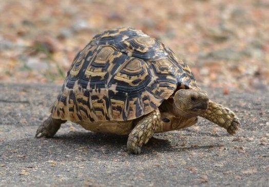 【知ってた?】亀が全速力で走る時はこんな場面!