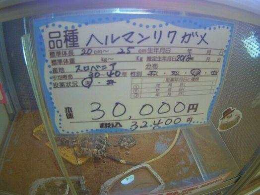ヘルマンリクガメの値段