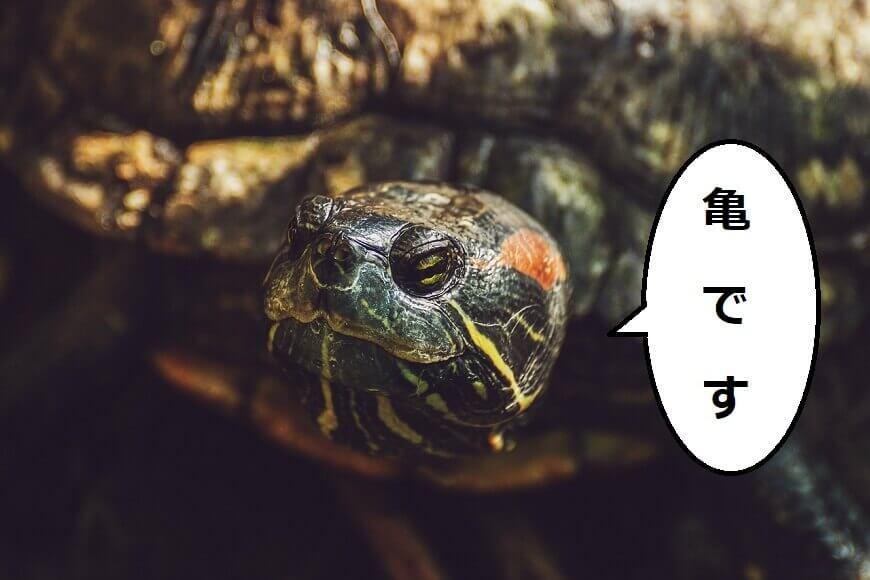 亀の特徴を10つ記事で詳しく紹介【亀を知りたい人向けの内容】