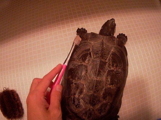 甲羅のはじは歯ブラシでこする