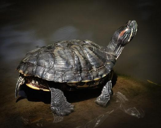 「カメプロス」という亀に絶対あげるべきエサの代表格