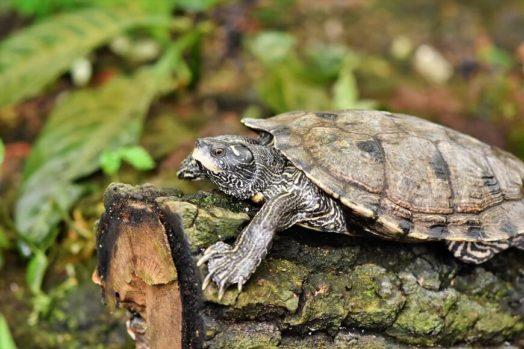 亀に苔が生えた時の対処法と今後の対策【ツルツルな甲羅を保つ】