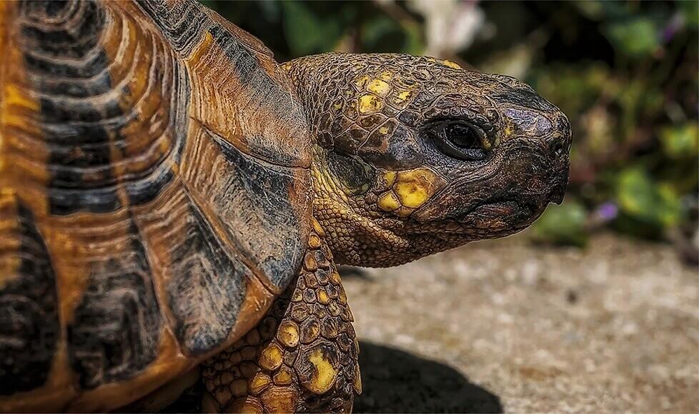 亀の年齢は甲羅で調べることができる【ただし種類によっては曖昧】