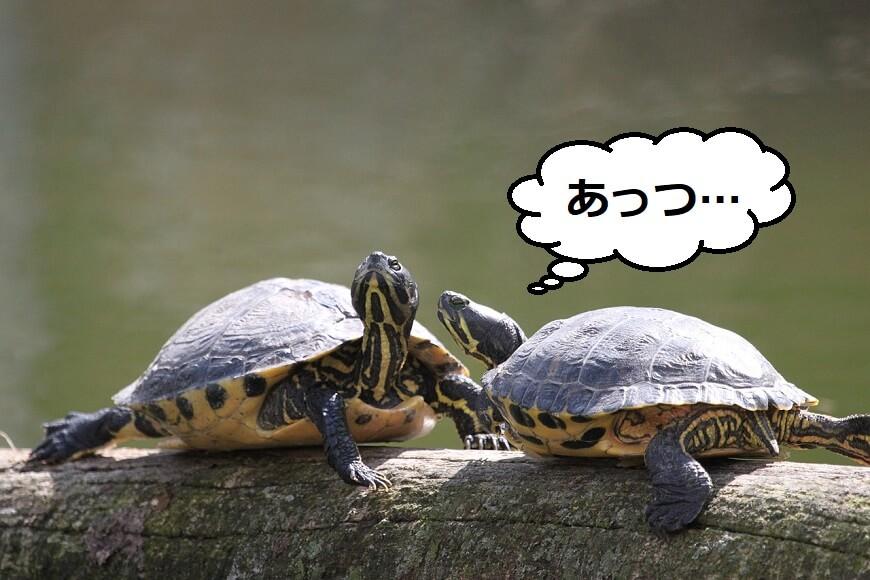 亀の夏場対策で気をつけること3選【熱中症で逝かないために】